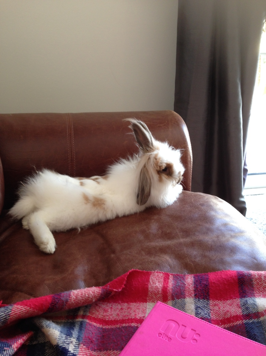 Very cute white and brown fluffy lionhead rabbit laying on sofa